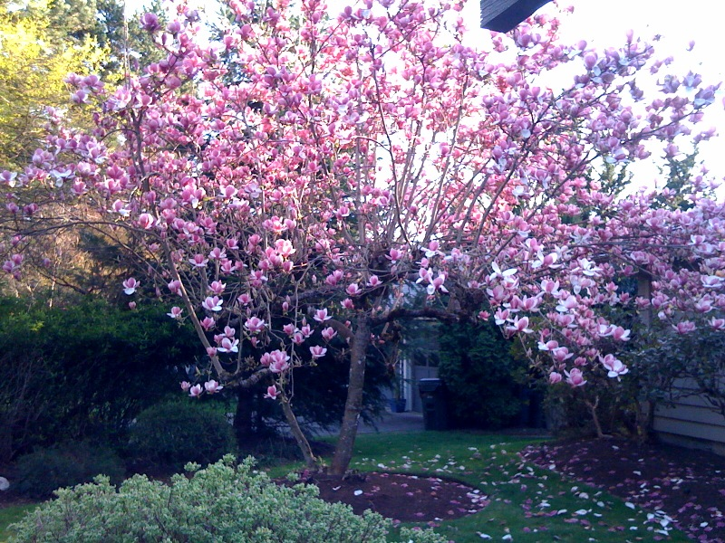 Magnolia in March, or How I Learned to Stop Worrying and Love Living in Portland